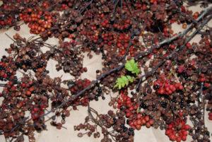 採って来たばかりの山椒の実。使うのは外側の実の部分です。