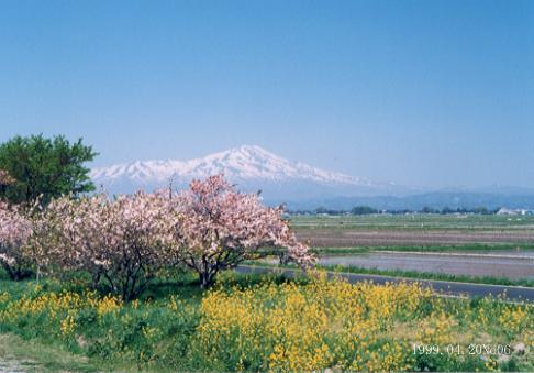 春の庄内平野、鳥海山、田植えしたての田んぼ、菜の花と桜